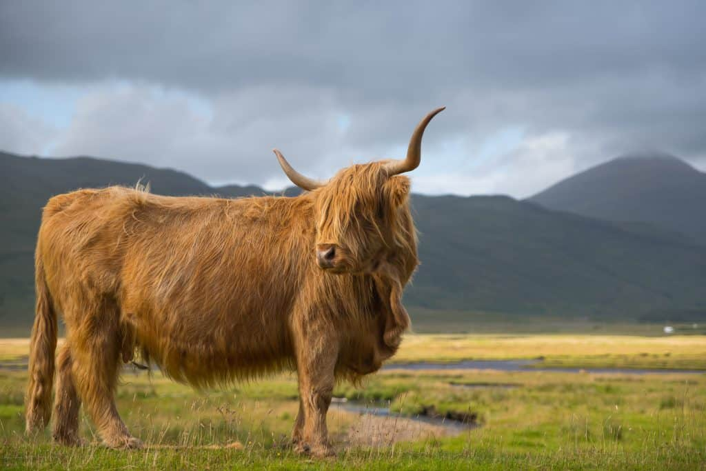 Highland cow on pasture - regenerative agriculture