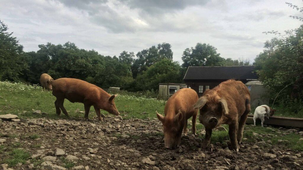 Grass fed pastured pigs with dog, Pheasants Hill Farm near Belfast, UK