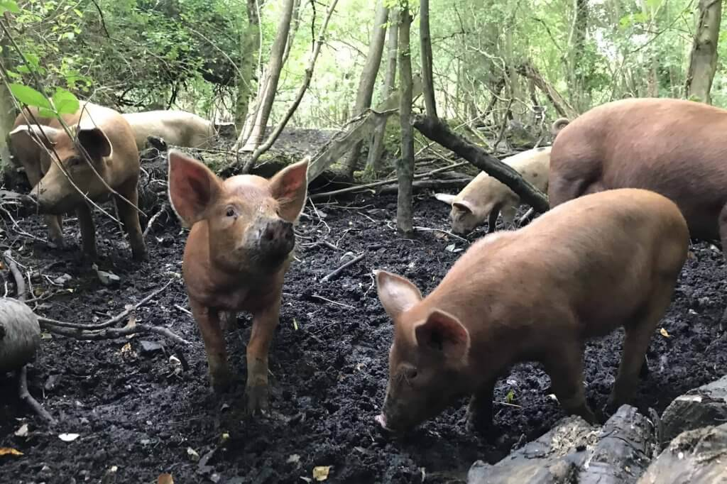 Happy pastured piglets in mud, Pheasants Hill Farm near Belfast, UK, where you can get trotters and pigs ears