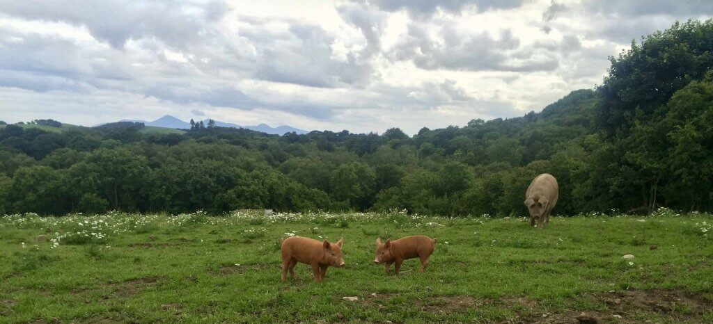 Pastured pigs Pheasants Hill near Belfast, UK where you can get pigs trotters and ears