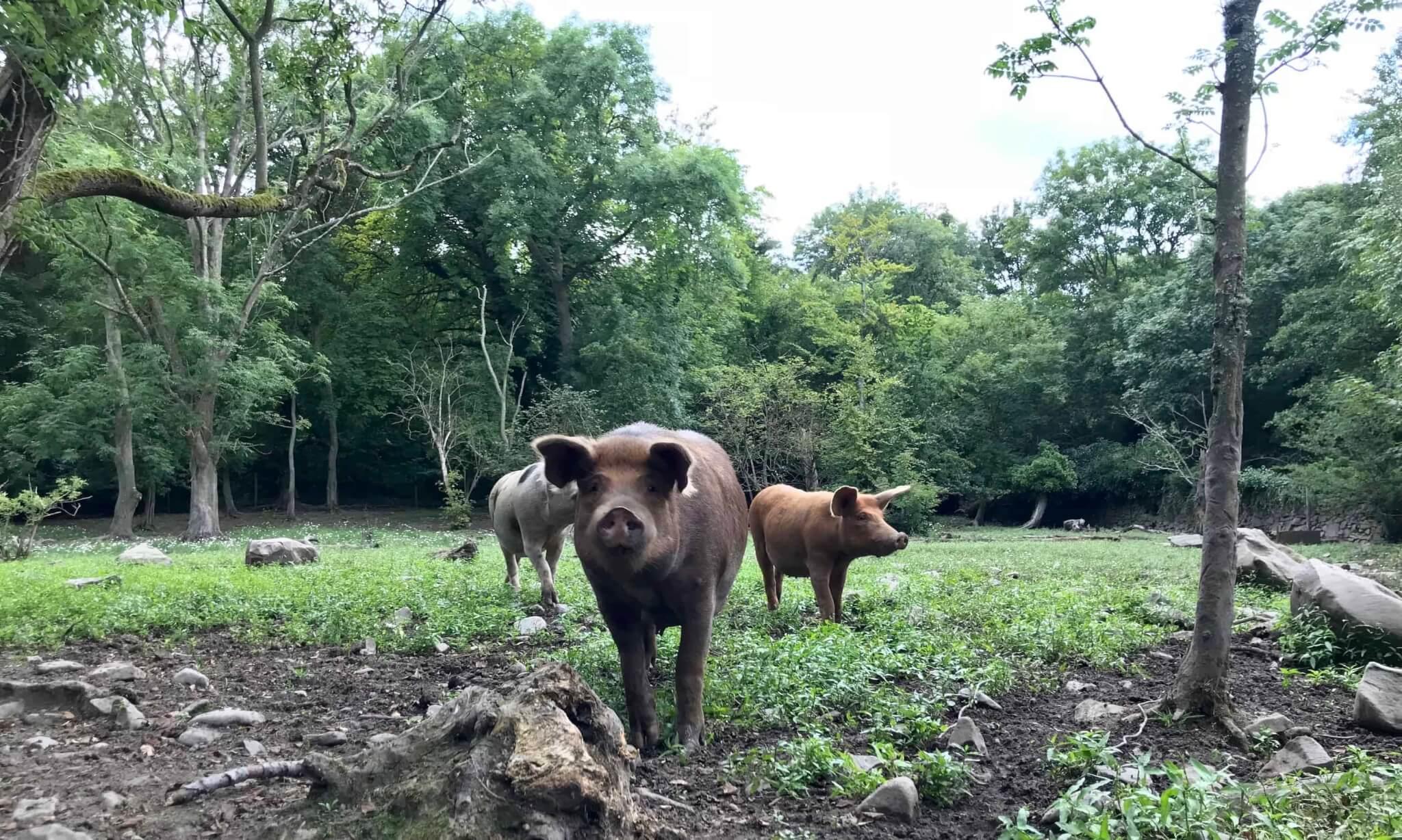 Silvopastured grass fed pork, Norhtern Ireland